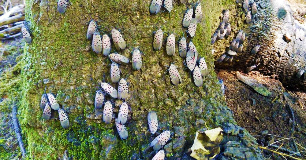 spotted lanternfly infestation in pennsylvania dead tree laws on property lines