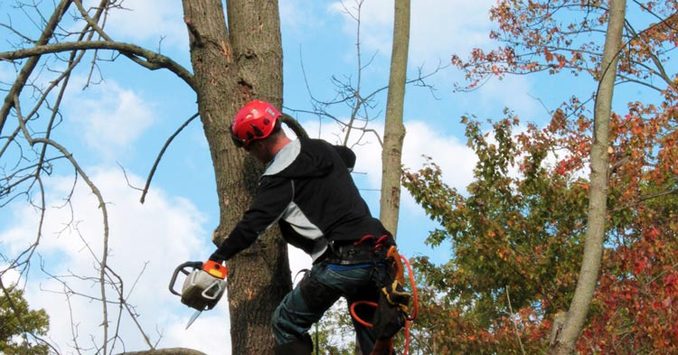 dead ash tree removal due to emerald ash borer in PA | dead tree removal laws